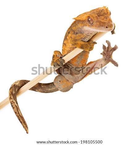 A crested gecko hanging out on a stick