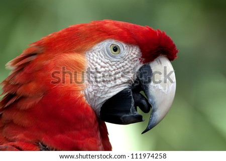 A crimson macaw (or red parrot), stares into the camera with partially opened beak. The bird is shot in profile and its tongue is visible. South American bird living at a Florida zoo. - stock photo