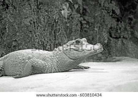 A crocodile in profile in front of plants in the background in Black and White