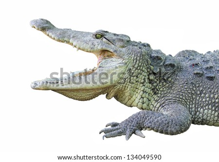 a crocodile with open jaws isolated on white - stock photo