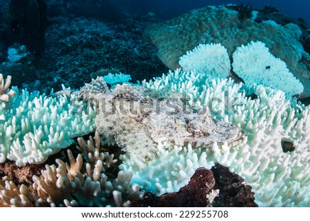 A crocodilefish (Cymbacephalus beauforti) blends into a bleached coral in Indonesia. Bleaching occurs when warm water causes symbiotic algae, known as zooxanthellae, to be expelled from coral tissue. - stock photo