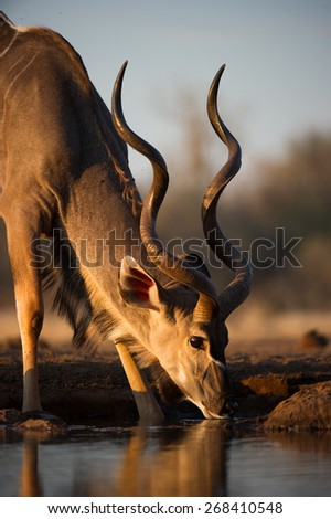 A cropped, colour photo of a kudu bull drinking in golden light - stock photo