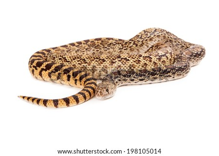 A cropped view of a coiled up Bullsnake with white copyspace room for text