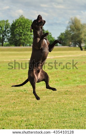 A crossbreed American Stafford-shire Terrier jumping up