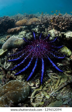 A Crown-of-thorns seastar (Acanthaster planci) feeds on live corals in the Andaman Sea.  These seastars can eat large amounts of coral and can produce up to 60 million eggs when they spawn. - stock photo