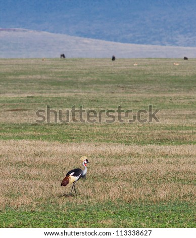 A crowned cranes in Crater Ngorongoro National Park - Tanzania