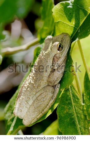 A Cuban Tree Frog ( Osteopilus septentrionalis) resting on a leaf in the Everglades National Park