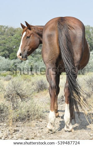 A curious brown Quarter Horse mare looks over her shoulder