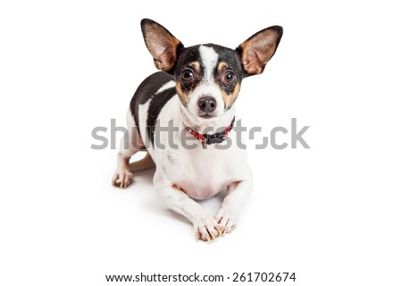 A curious Chihuahua Dog laying with outstretched paws while looking directly into the camera.  - stock photo