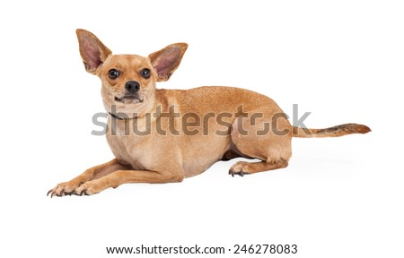 A curious Chihuahua Mix Breed Dog laying at an angle while looking up.