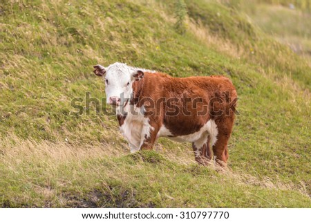 A curious cow in rural New Zealand - stock photo