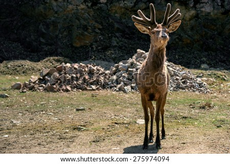 wapiti mature singles Forage quality and patch choice by wapiti  van soest, 1982) as grasses mature the proportion of cell wall  single grasping and tearing of the grass,.