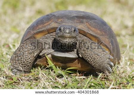 A curious endangered Gopher Tortoise (Gopherus polyphemus) Walks towards camera - Florida - stock photo