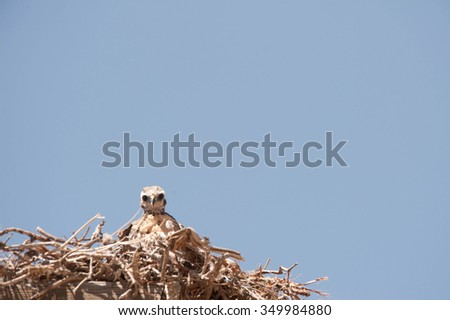 A curious golden eagle chick in a next looking down at photographer - stock photo