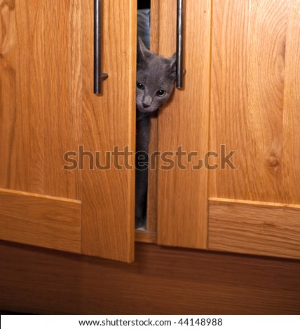A curious grey kitten poking his head out of a cupboard door.