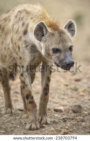 A curious hyena, Masai Mara National Reserve, Republic of Kenya, East Africa - stock photo