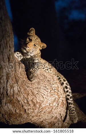 A curious little leopard cub resting in a tree turns its head and looks at the camera - stock photo