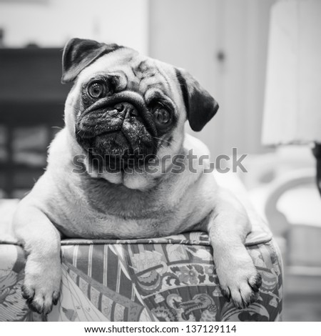 A curious little pug dog looking over the couch. - stock photo