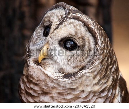 A curious look from a barred owl.