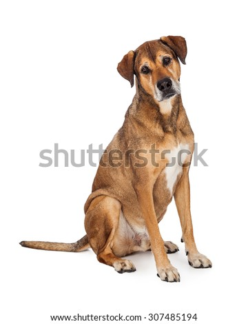 A curious looking Large Mixed Breed Dog sitting while looking at the camera