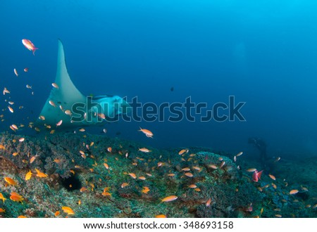 A curious manta ray looking at an underwater videographer  - stock photo