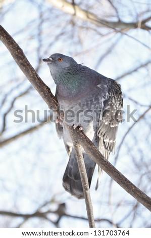 A curious pigeon - stock photo