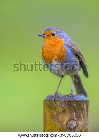 A curious red robin (Erithacus rubecula) on a pole. A regular companion during gardening pursuits - stock photo