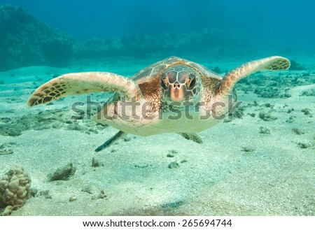 A curious sea turtle checks out its own reflection in the camera lens. Beautiful clear blue ocean water and marine reptile life underwater - stock photo