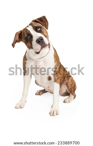 A curious Staffordshire Bull Terrier Mix Breed Dog sitting with head tilted to one side.