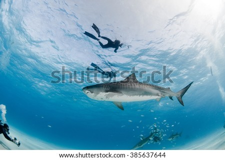 A curious tiger shark swims past a group of divers in clear, shallow water - stock photo