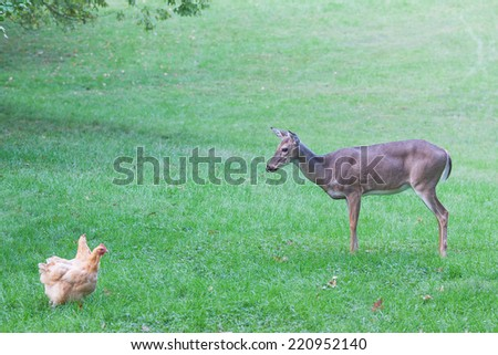 A curious young deer watches free range hens - stock photo