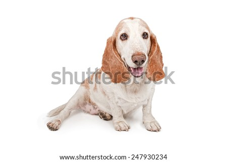 A cute adult Basset Hound dog with a happy expression - stock photo