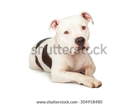 A cute adult Pit Bull breed dog laying down and looking forward into the camera with a sad expression