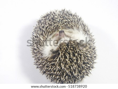 A cute African Pygmy Hedgehog look like a ball on white background.