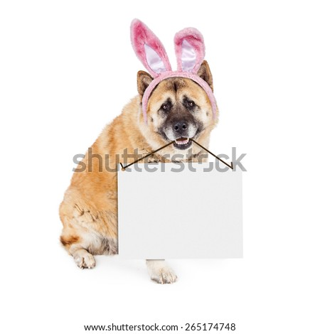 A cute Akita breed dog wearing pink Easter bunny rabbit ears while sitting and carrying a blank white sign in his mouth - stock photo