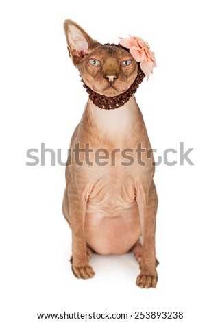 A cute and funny hairless Sphinx breed cat wearing a brown head band with a pink flower - stock photo