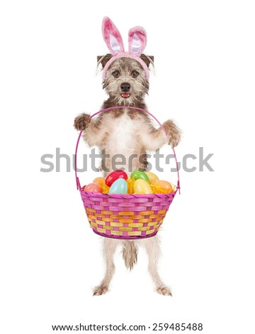 A cute and happy terrier dog wearing Easter bunny ears standing and holding a basket of colorful eggs