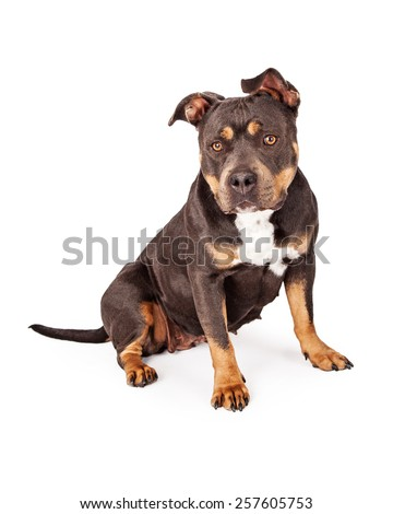 A cute and obedient tri-color Pit Bull dog sitting and looking at the camera