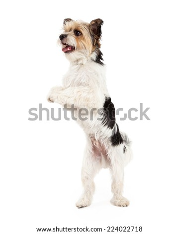 A cute and playful little Yorkshire Terrier and Shih Tzu mixed breed dog standing on his hind legs and dancing - stock photo