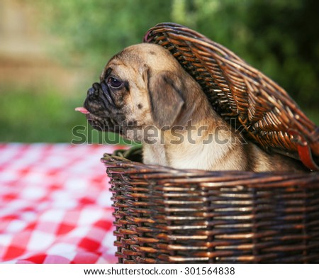 a cute baby pug chihuahua mix puppy looking out of a wicker picnic basket and licking her face during summer - stock photo