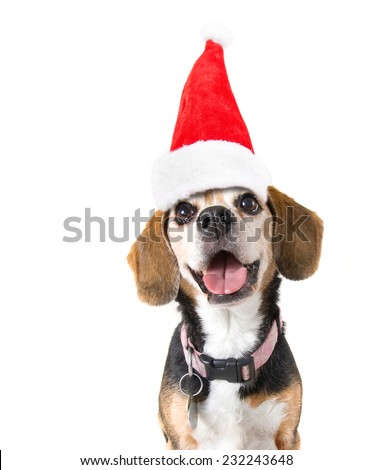 a cute beagle looking at the camera on a white background with a santa hat on for christmas - stock photo