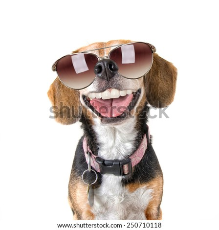 a cute beagle looking at the camera with sunglasses on - stock photo