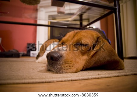 A cute beagle puppy sleeping on the floor in the living room. - stock photo