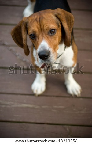A cute beagle puppy with a curious look on his face. - stock photo