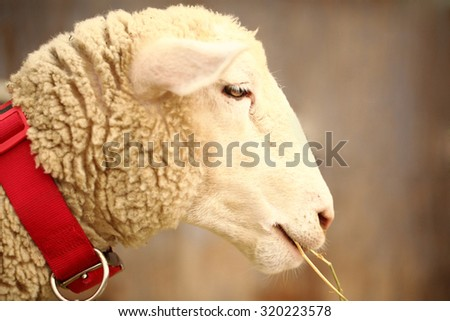 A cute beautiful sheep chewing on a straw. soft-focused. - stock photo