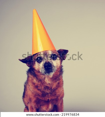 a cute birthday chihuahua on a gray background toned with a retro vintage instagram filter effect - stock photo