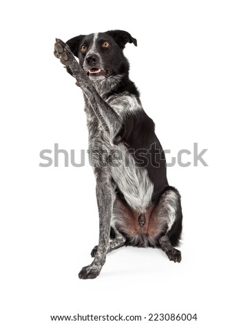 A cute black and grey color Border Collie dog raising his paw up to wave hello - stock photo