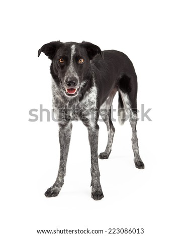 A cute black and grey color Border Collie dog standing up and looking forward with a happy expression and mouth open