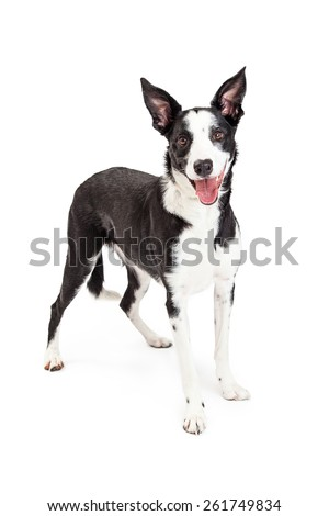A cute black and white Collie crossbreed dog with an open mouth and happy expression. Image taken isolated on a white studio background. - stock photo