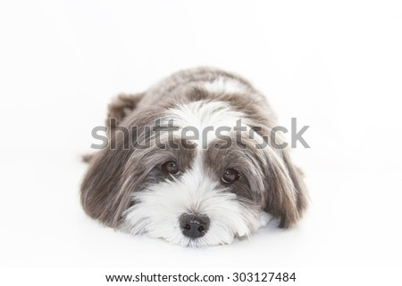 A cute black and white dog lying down facing forward. - stock photo